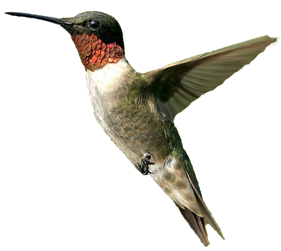 Hummingbird transparent. Png images all file