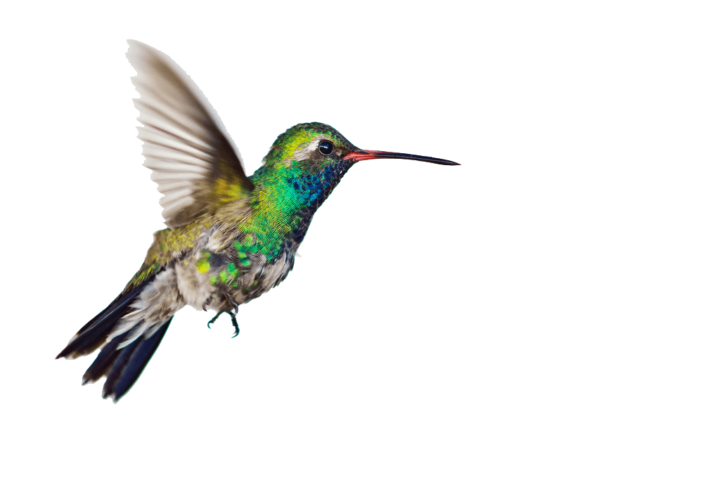 Hummingbird transparent. Side png stickpng