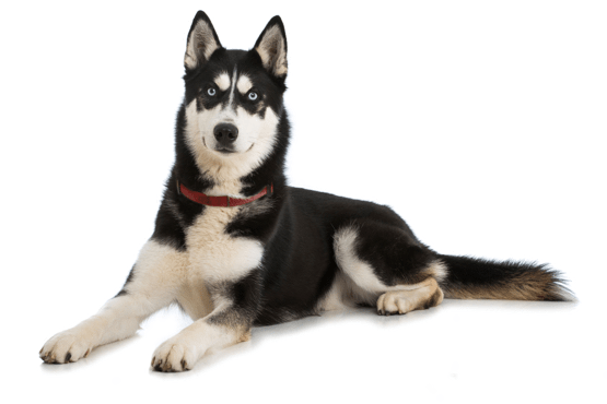 Puppies in delaware looking. Husky transparent adoption image free stock