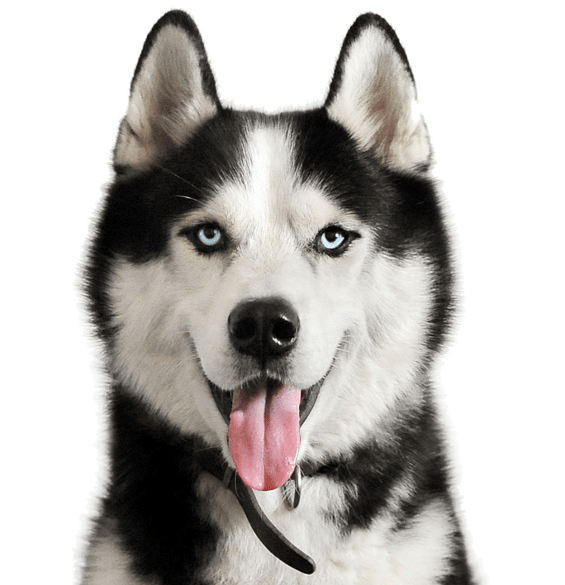 Husky transparent nc sale. Puppies dogs search