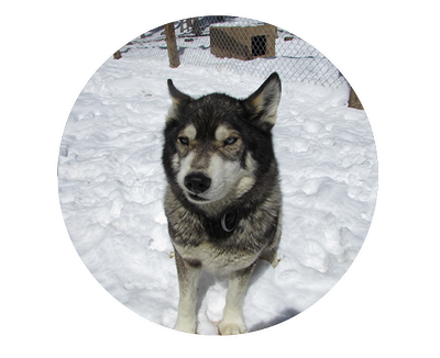 Husky transparent adoption. Available dogs snow caps