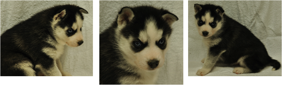 Husky transparent nc sale. Male siberian puppies for