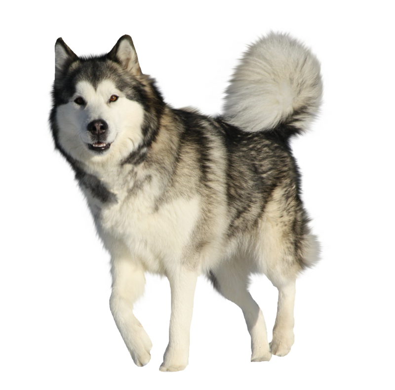 Husky transparent traditional. Image clipart png animal