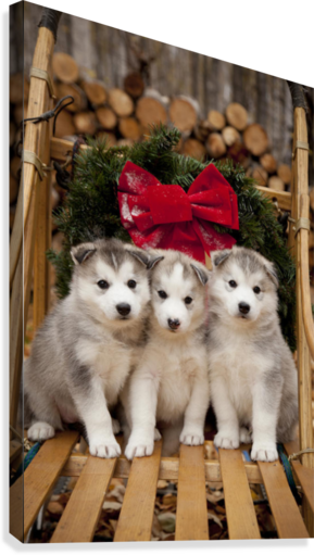Husky transparent traditional. Siberian puppies in wooden