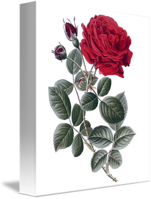 Drawing realism flower. Beautiful framed print by