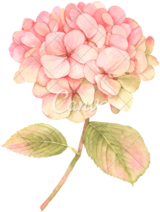 Hydrangea clipart botany. Download transparent watercolor pink