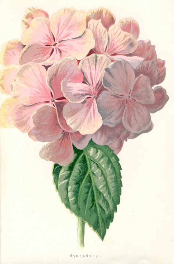 Hydrangea clipart botany. Flower drawing at getdrawings