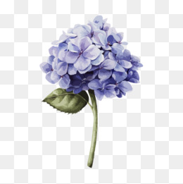 Hydrangea clipart hydrangea flower. Png images vectors and
