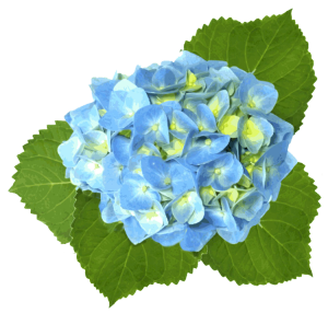 Web design development flowers. Hydrangea clipart hydrangea flower image royalty free