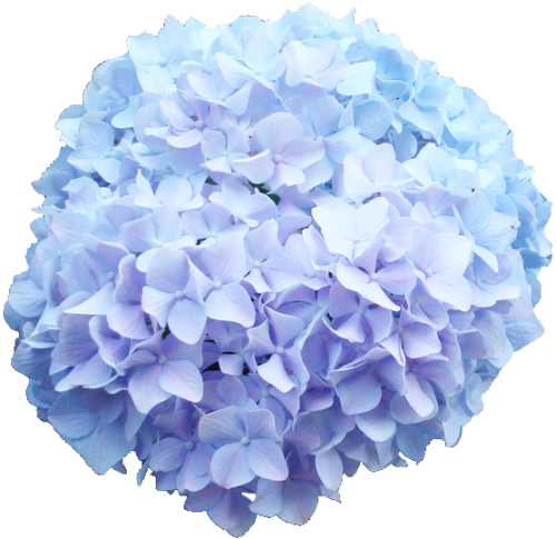 Flowers baby blue nature. Hydrangea transparent image library