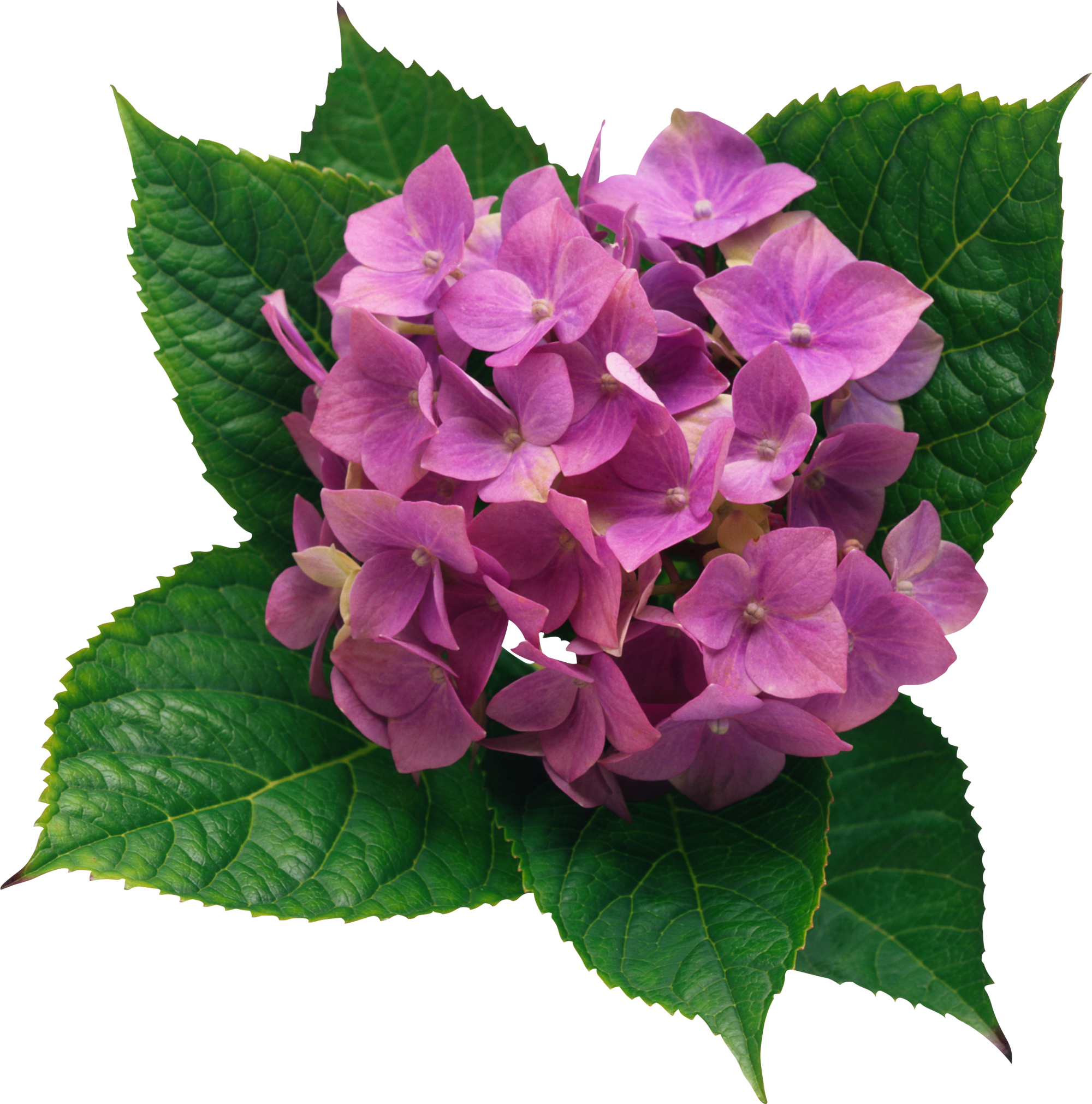 Png clipart picture gallery. Hydrangea transparent banner freeuse library