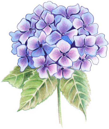 Blossom drawing colored pencil. Hydrangea flower sketch at