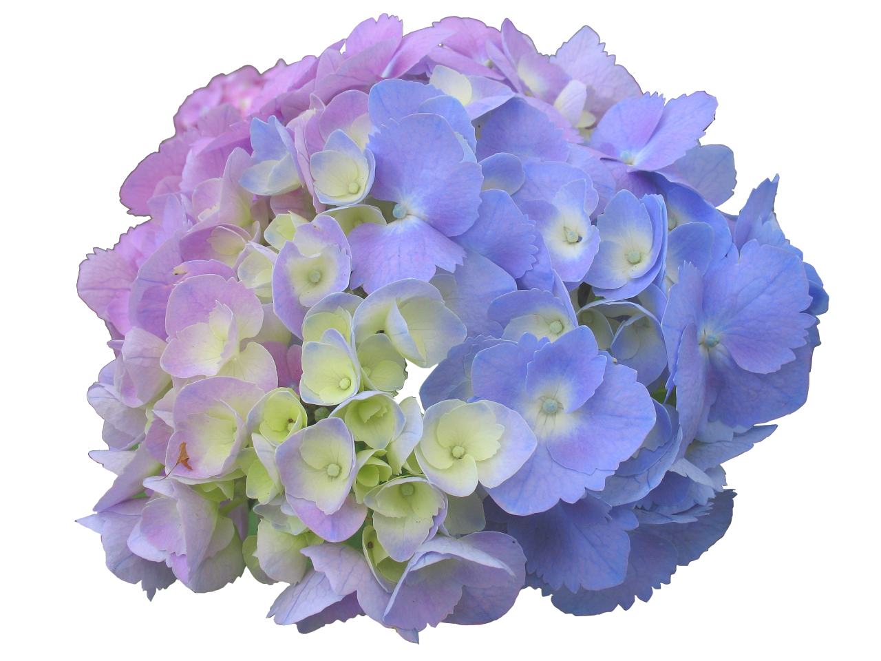 Transparencsee there are a. Hydrangea transparent graphic free stock