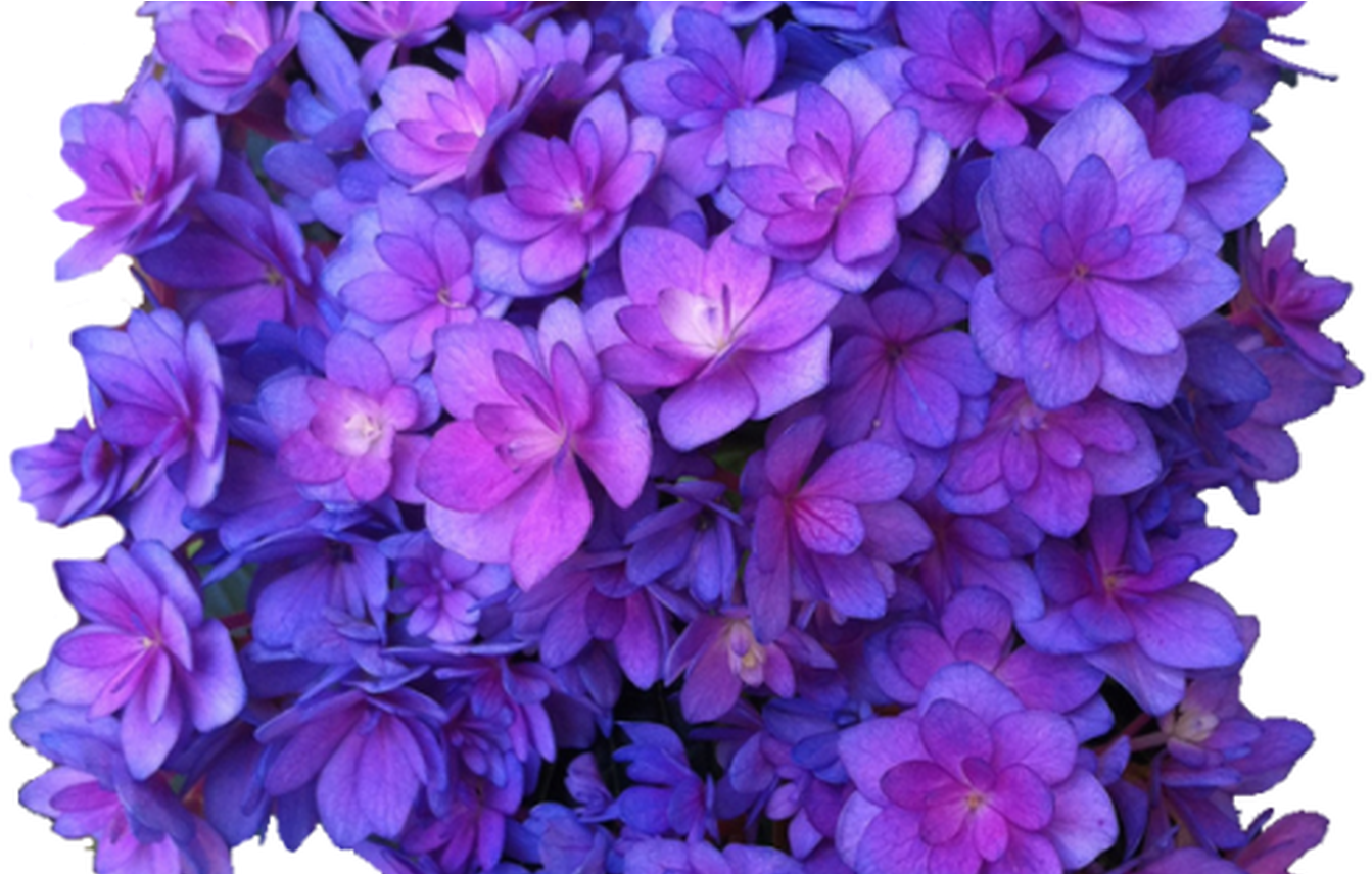 Download flower purple png. Hydrangea transparent graphic library