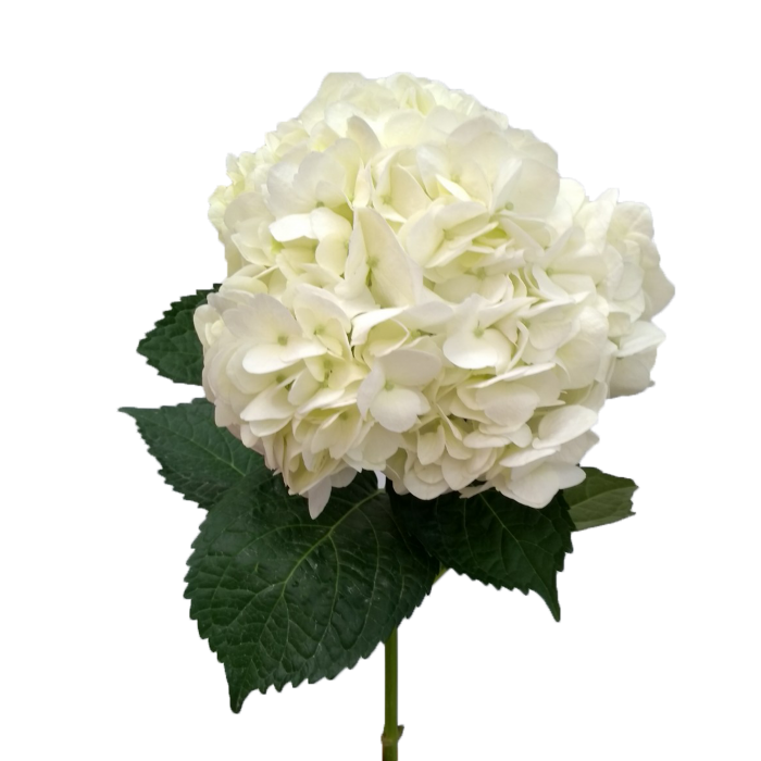 Hydrangea transparent white. Super select natural hydrangeas