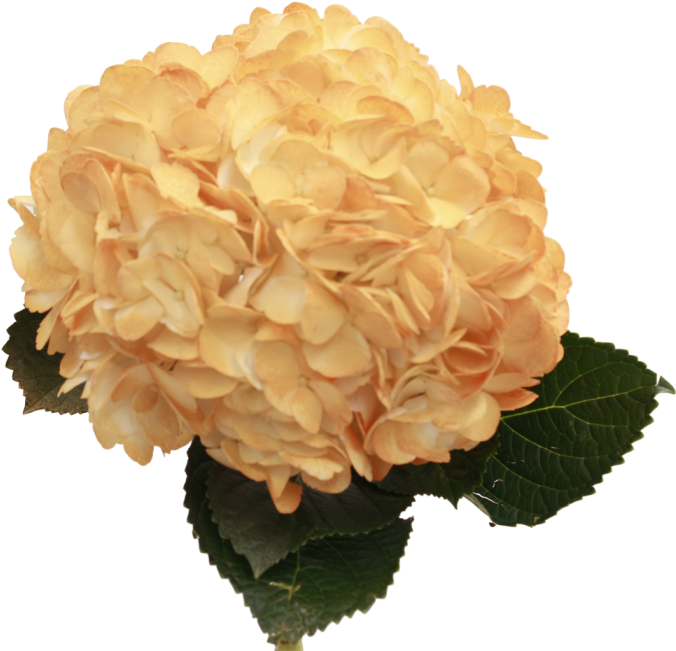 Download hd orange png. Hydrangea transparent graphic black and white download