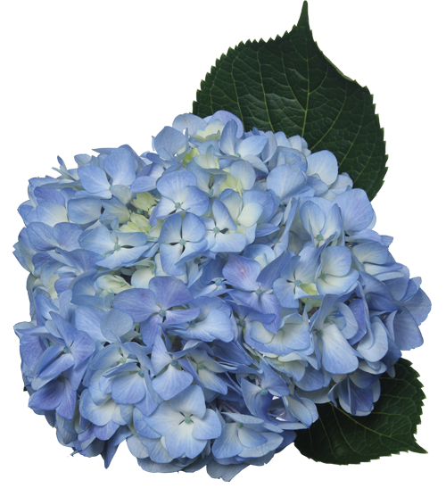 Single color box for. Hydrangea transparent graphic free download