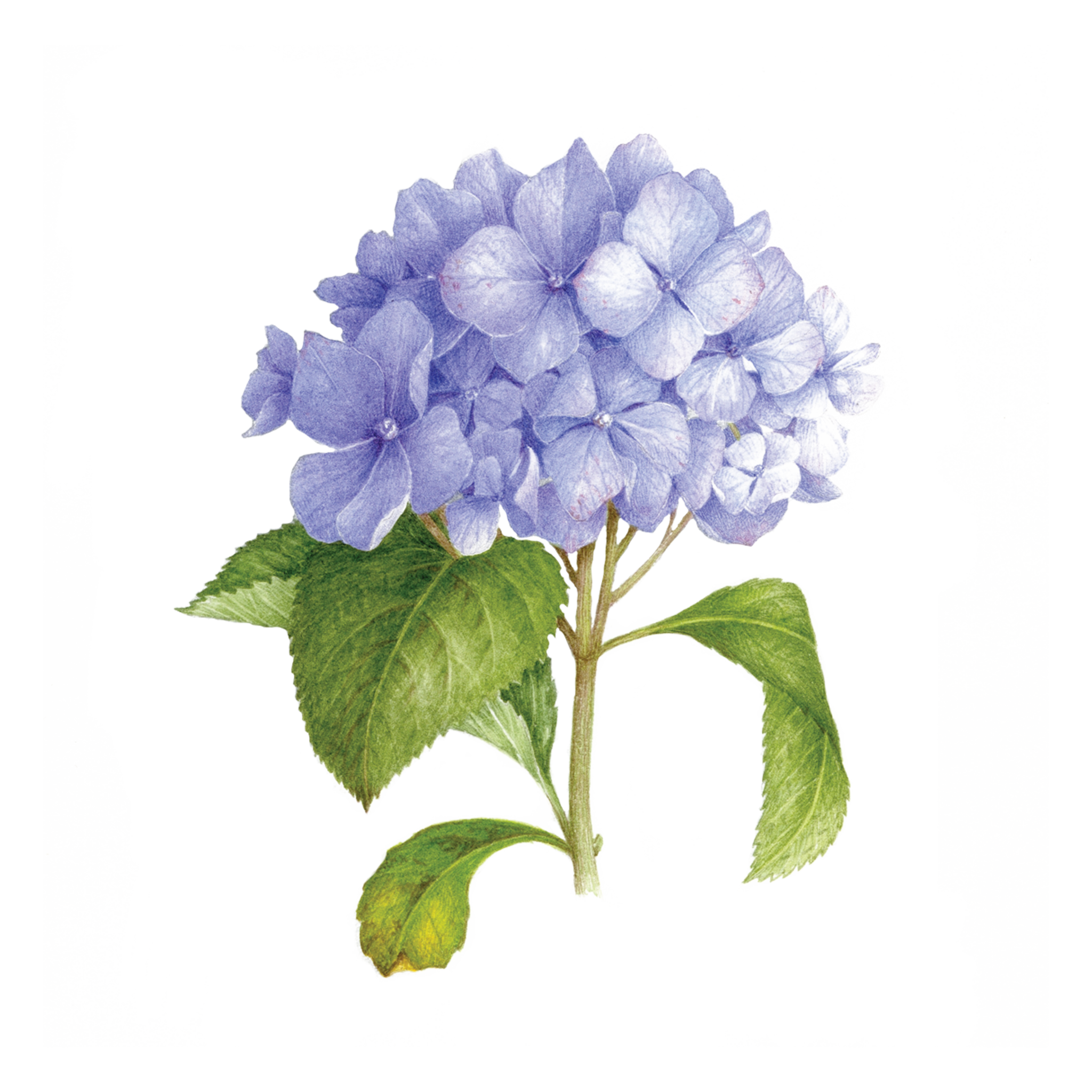 Blue scented by vincent. Hydrangea transparent image royalty free stock