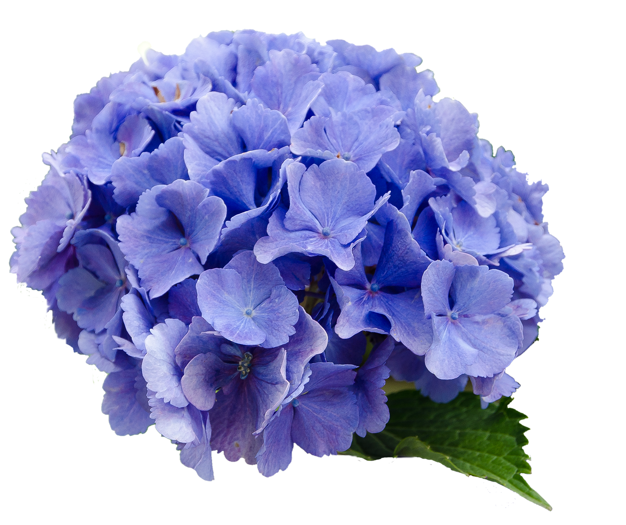 Flower blue nature free. Hydrangea transparent background clip freeuse