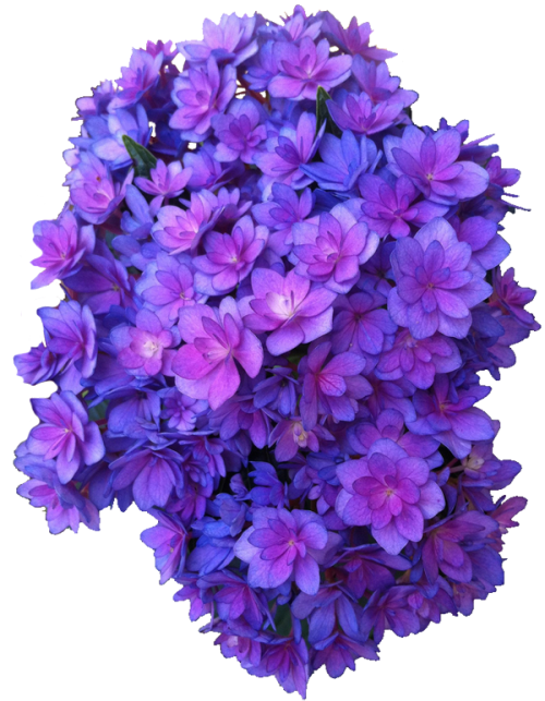 Flower purple png multi. Hydrangea transparent background library