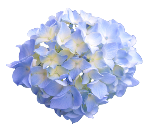 Hydrangea transparent light blue. Flowers x transparentflowers