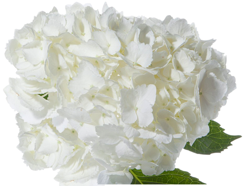 Hydrangea transparent white. Paradise flowers nyc premium