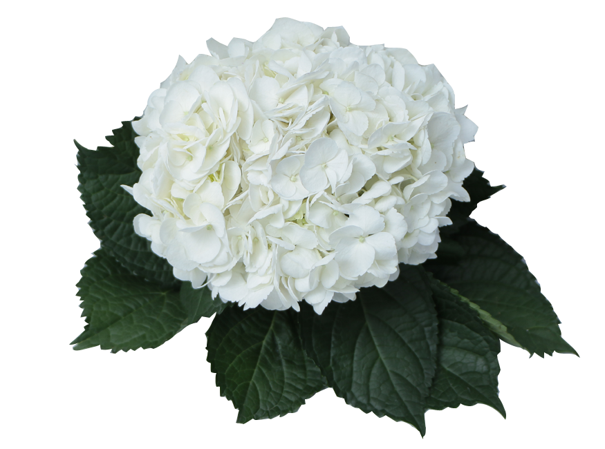 Hydrangea transparent white. Single color box for