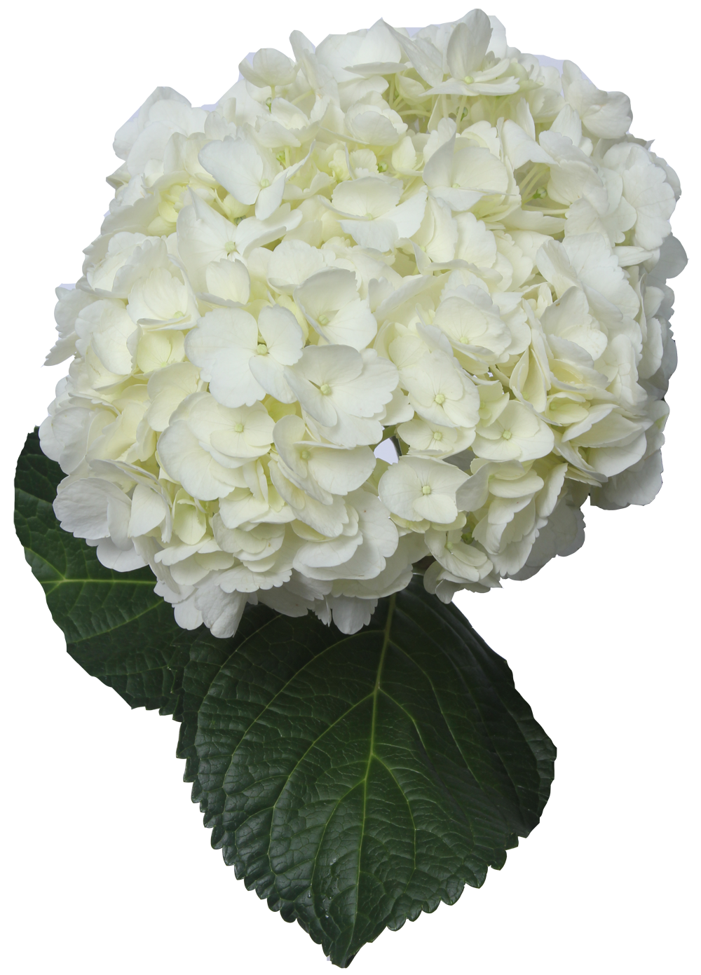 Hydrangea transparent white. Cut flowers green transprent