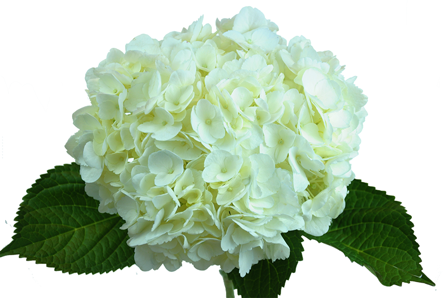 Hydrangea transparent white. Paradise flowers nyc minigreen