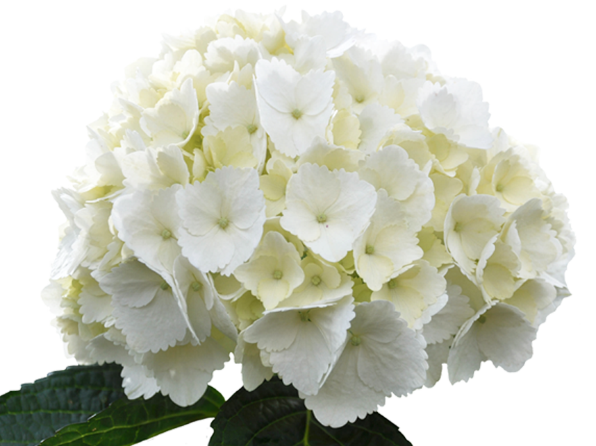 Hydrangea transparent white. Paradise flowers nyc select