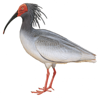 Ibis drawing dead. Asian crested nipponia nippon