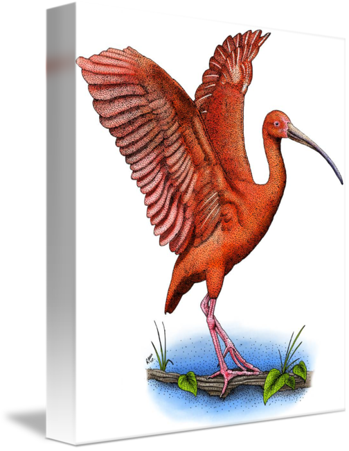 Ibis drawing illustration. Scarlet by roger hall