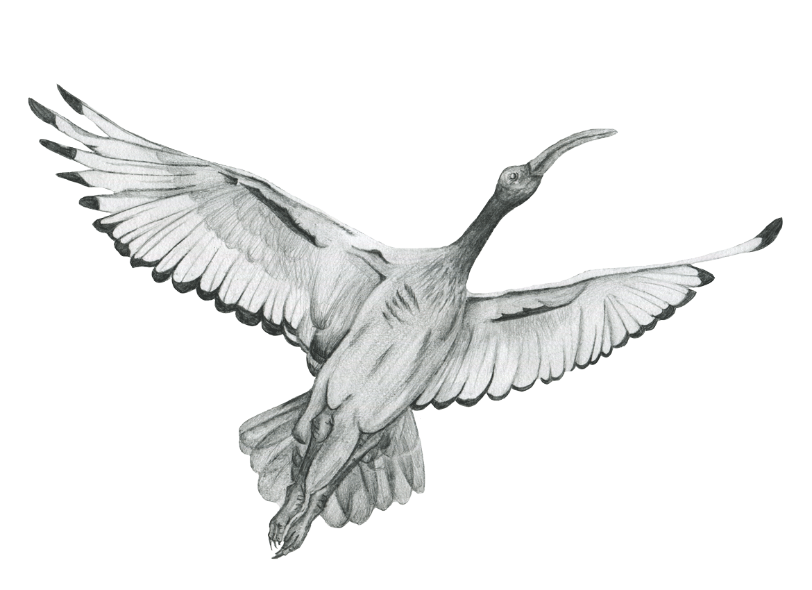 Ibis drawing. The after a detailed