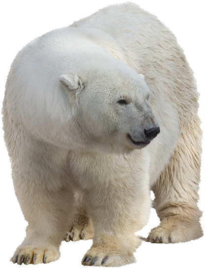 Ice bear png. Polar images free download