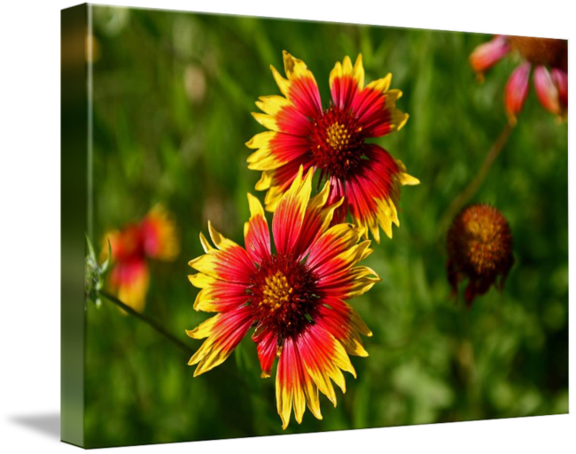 Indian blanket png. Texas hill country by