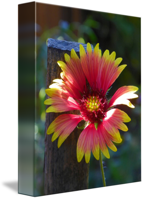 Indian blanket png. Flower by capturing nature