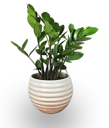 Indoor plant png. Laughing plants a study