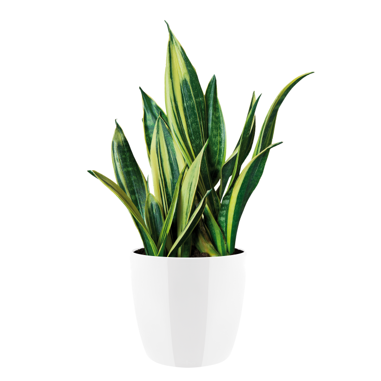 Indoor plants png. Plant images in collection
