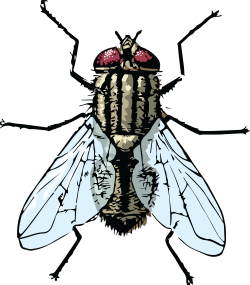 Drawing insect body. Clipart of a fly