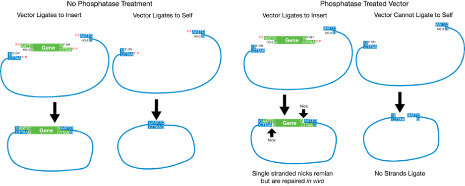 Prset vector simple. Plasmids restriction cloning phosphatase