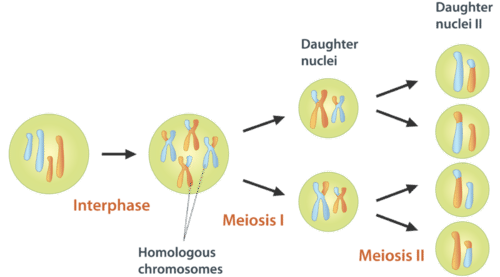 Interval vector interphase. Meiosis read biology ck
