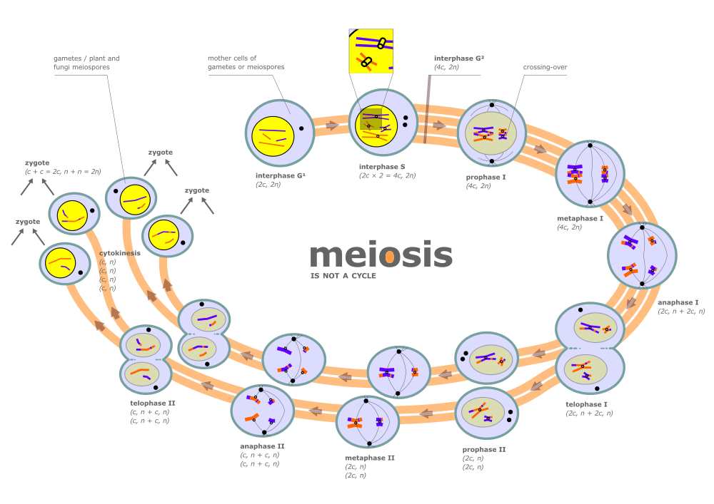 Interval vector interphase. File diagram of meiosis