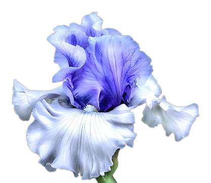 Tennessee drawing iris. Index of users tbalze