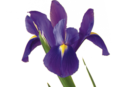 Tennessee drawing iris. Flower meaning symbolism teleflora