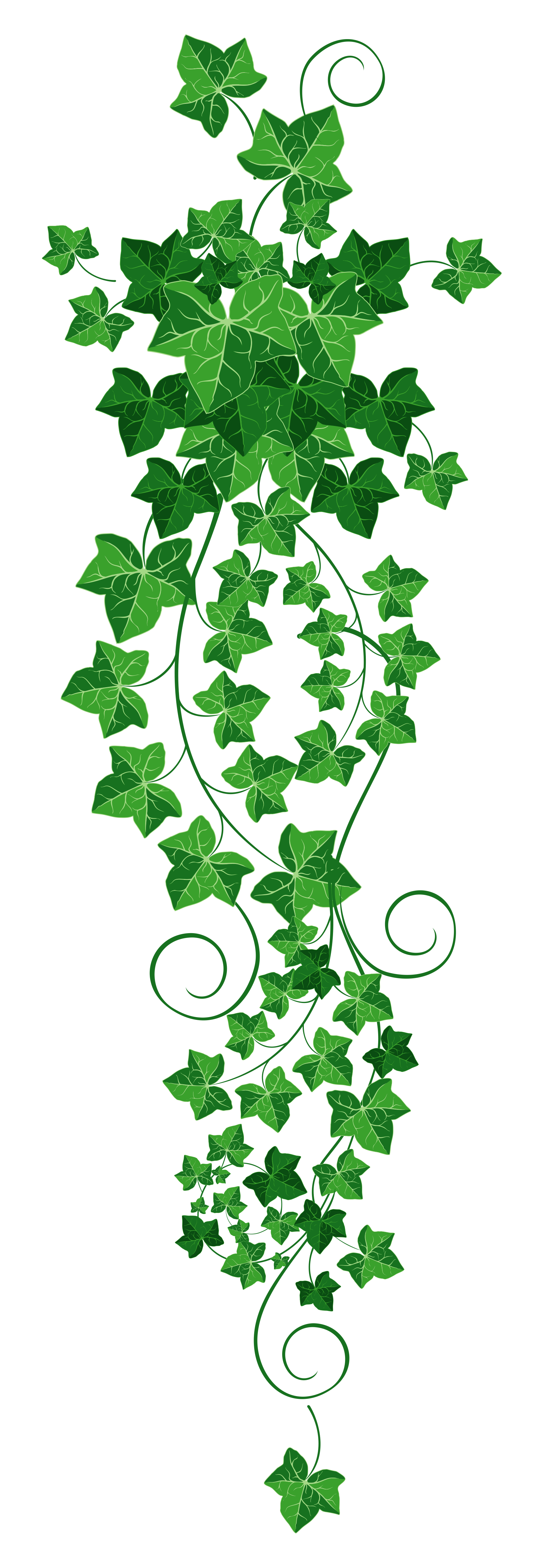 ivy plant png