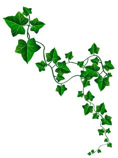 Ivy clipart curved. Gallery for tattoo drawing