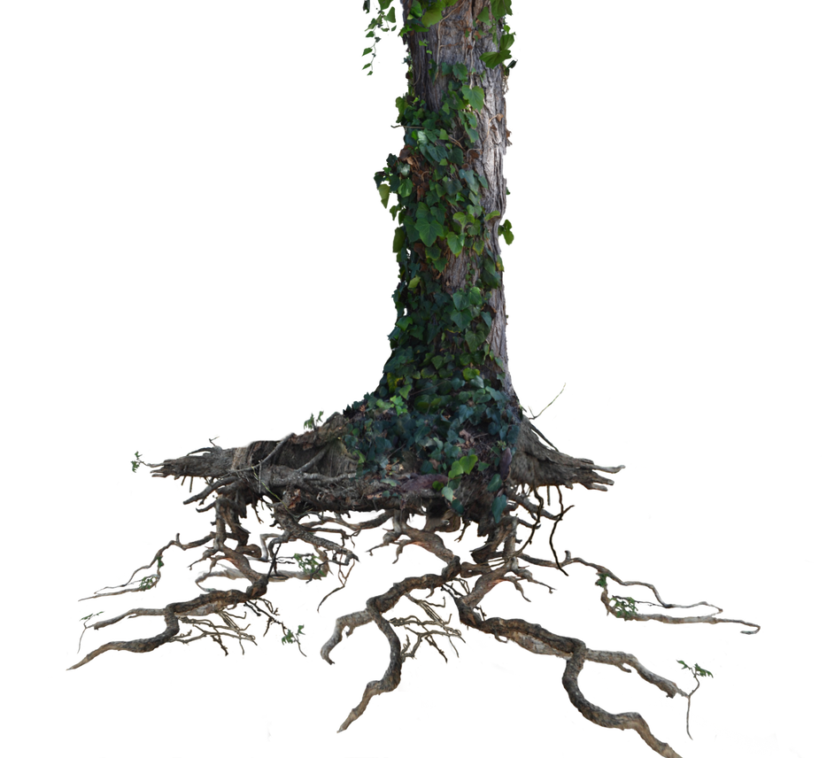Tree trunk png. Roots with ivy stock