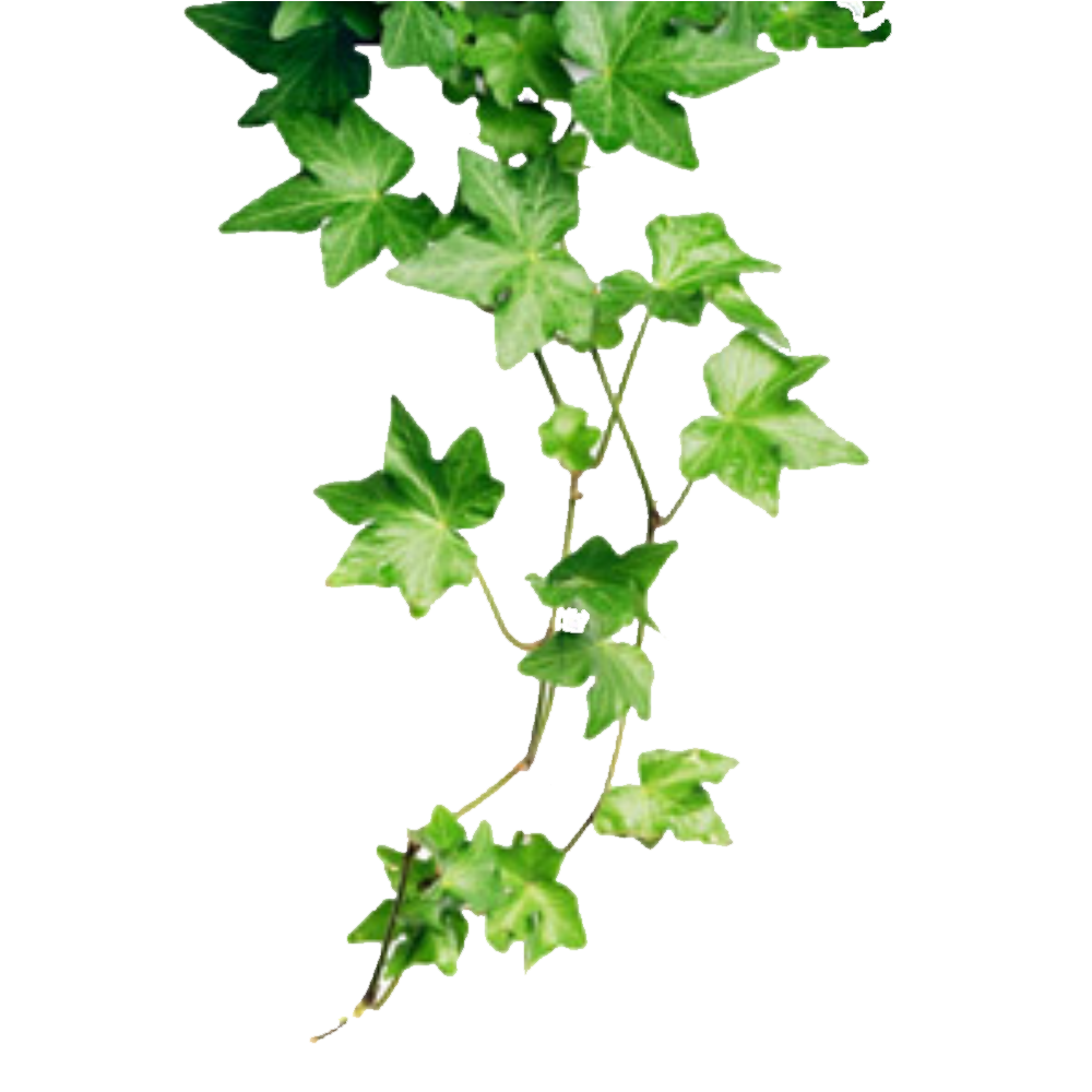Ivy png. Hd free icons and
