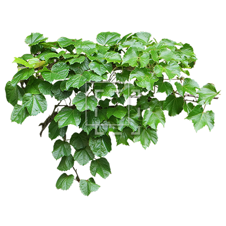 Ivy texture png. An expertly cut out