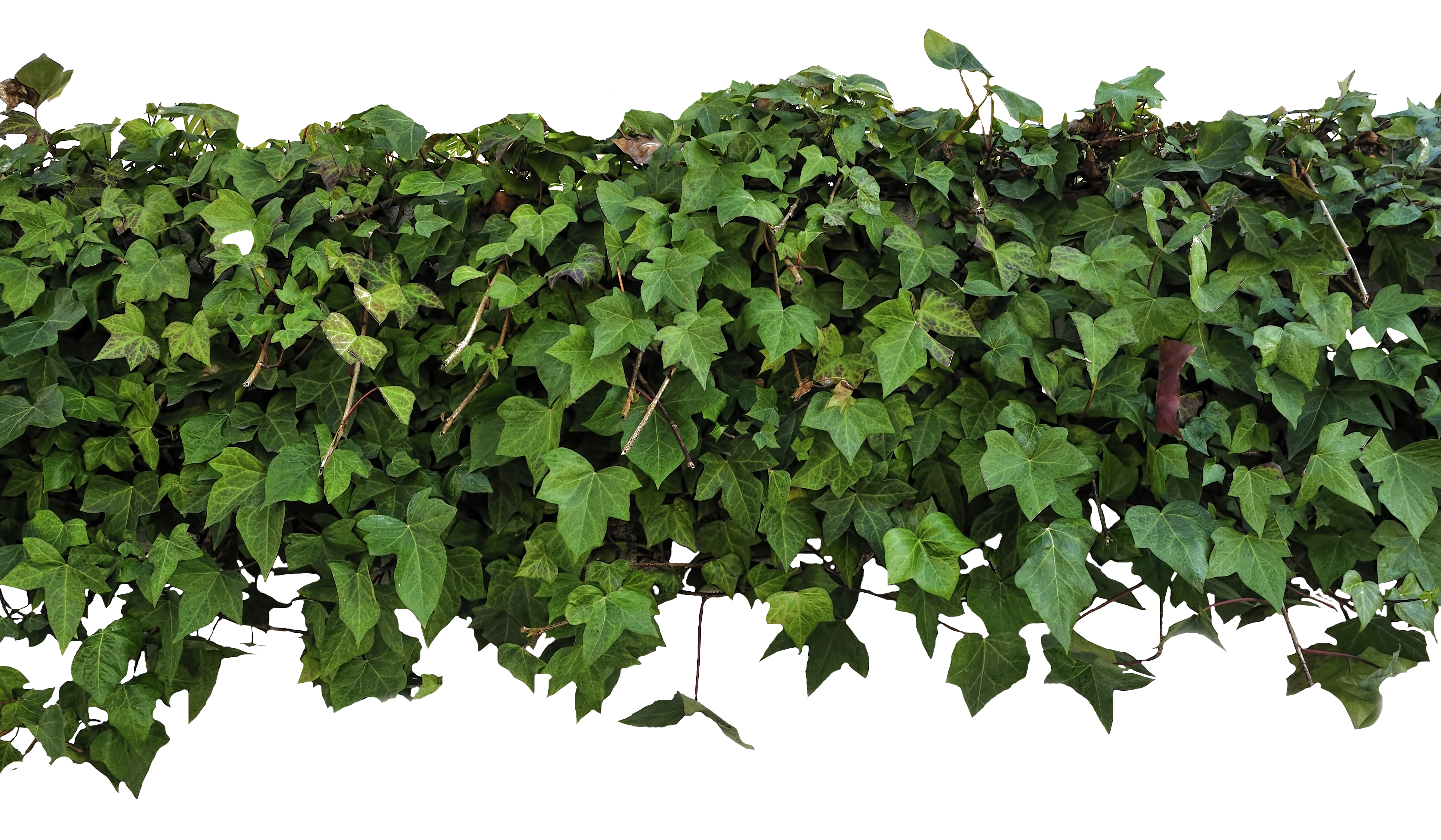 Ivy texture png. Overhang by evelivesey deviantart